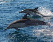 Dolphin Census